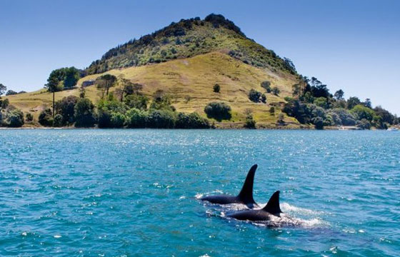 orcas on pirate cruise